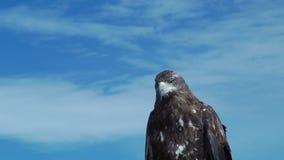Guld- Eagle Aquila Chrysaetos med blå himmel stock video