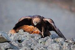Guld- Eagle, Aquila chrysaetos som matar på höjdpunkt för röd räv för byte i stenbergen arkivbild
