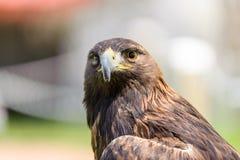 Guld- Eagle främre sikt Royaltyfri Fotografi