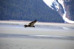 Guld- Eagle i flykten Royaltyfria Bilder