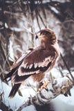 Guld- Eagle i skog Arkivfoto