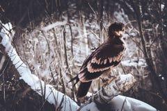 Guld- Eagle i skog Royaltyfria Bilder