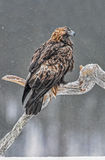 Guld- Eagle i snö royaltyfri bild