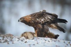 Guld- Eagle Matriarch fotografering för bildbyråer