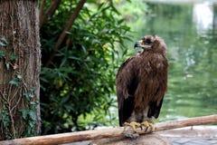 Guld- Eagle på en bakgrund av vatten arkivbild