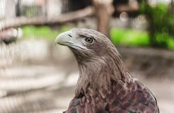 Guld- Eagle på zoo, närbild, lösa fåglar, Ryssland royaltyfri foto