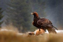 Guld- Eagle som matar på röd räv för byte i skogen under regn och snöfall Fågeluppförande i naturen Handlingmatplats med royaltyfri foto