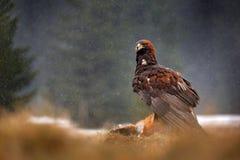 Guld- Eagle som matar på röd räv för byte i skogen under regn och snöfall Fågeluppförande i naturen Uppförandeplats med royaltyfri fotografi