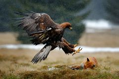 Guld- Eagle som matar på röd räv för byte i skogen under regn och snöfall Fågeluppförande i naturen Uppförandeplats med royaltyfria foton