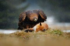 Guld- Eagle som matar på röd räv för byte i skogen under regn och snöfall Fågeluppförande i naturen Uppförandeplats med arkivfoton