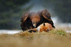 Guld- Eagle som matar på röd räv för byte i skogen under regn och snöfall Fågeluppförande i naturen Uppförandeplats med fotografering för bildbyråer