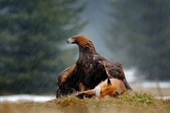 Guld- Eagle som matar på röd räv för byte i skogen under regn och snöfall Fågeluppförande i naturen Uppförandeplats med royaltyfri bild