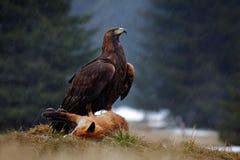 Guld- Eagle som matar på röd räv för byte i skogen under regnet royaltyfri fotografi