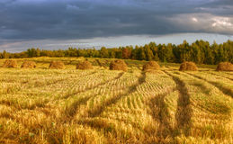 guld- fält Arkivbild