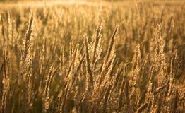 guld- fält Fotografering för Bildbyråer