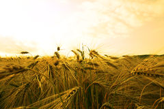 guld- fält Arkivfoto