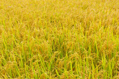 guld- fält Arkivfoton