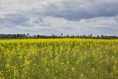 Guld- fält av blomningrapsfröt med blå himmel - brassicanapus - växt för grön energi och oljeindustri Royaltyfri Bild