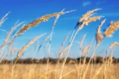 Guld- fält mot den blåa himlen royaltyfria bilder