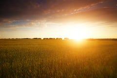 Guld- fält och härlig solnedgång Royaltyfria Bilder