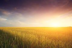 Guld- fält och härlig solnedgång Arkivbild