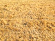 Guld- fältbakgrund arkivfoton