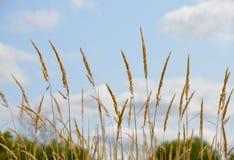 Guld- fältgräs mot blå himmel; copyspace Royaltyfria Bilder