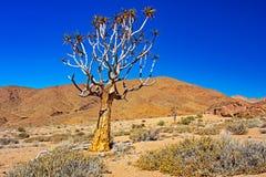 Guld färgat Kokerboom darrningträd royaltyfri bild