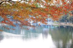 Guld- för Autumn Yellow för nedgånglövverk träd för röd lönn adn Arkivfoton