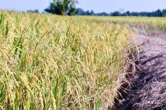 Guld för risfältfärg, landskapfoto Royaltyfri Fotografi