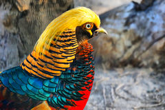 Guld- fasan - härlig fågel Royaltyfria Bilder