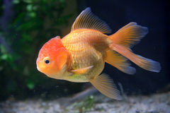 guld- fisk Royaltyfri Bild