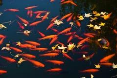guld- fisk Royaltyfri Fotografi
