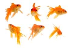 guld- fisk Royaltyfri Foto