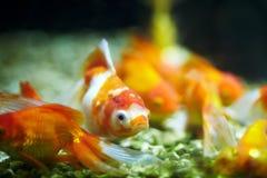 Guld- fisk Arkivbild