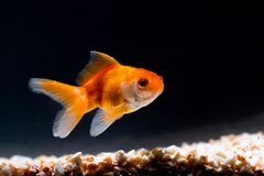 Guld- fisk eller guldfisk som sv?var simning som ?r undervattens- i ny akvariumbeh?llare arkivbild