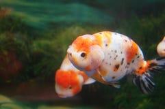 Guld- fisk för jätte- panda, dekorativt fisklandskap för högt slut royaltyfri fotografi