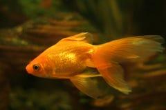 Guld- fisk i akvarium royaltyfri fotografi