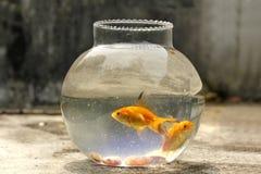 Guld- fisk i liten flaska arkivfoto