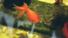 Guld- fisk i sötvatten arkivfilmer