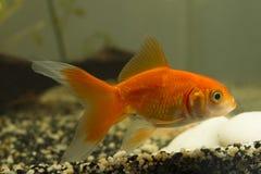 Guld- fisk med sand Fotografering för Bildbyråer