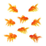 Guld- fisk med vit bakgrund royaltyfria foton