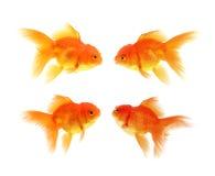 Guld- fisk med vit bakgrund royaltyfri fotografi
