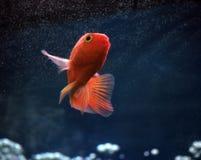 Guld- fisk på de ljusa strålarna på blått vatten Arkivbilder