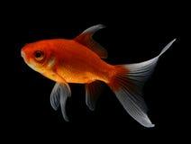 Guld- fisk på svart bakgrund Arkivbilder