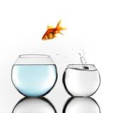 Guld- fisk som hoppar till större bunke Arkivbilder