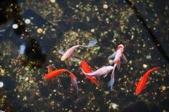 Guld- fiskar på golv av den stora trädgårds- korridoren Royaltyfri Bild