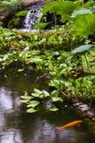 Guld- fiskdamm på Hawaii den tropiska botaniska trädgården, Royaltyfri Bild