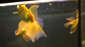 Guld- fisksimning i akvarium av skönhetsalongen, pilling service för fisk, fauna arkivfilmer