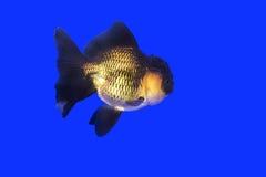 Guld- fiskSvart-guld Oranda Royaltyfria Bilder